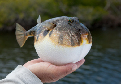 Inflated smooth puffer fish from Florida mangroves