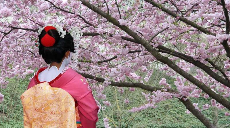 geisha fioritura ciliegi